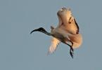 Ibis Elegance