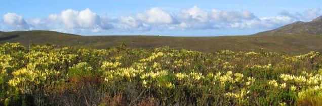 Fynbos vista