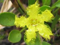 Villarsia capensis