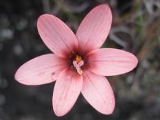Geissorhiza nubigena