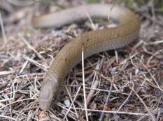 Red-lipped Garter snake