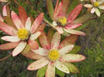 Leucadendron sp.