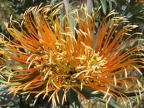 Leucospermum catherinae