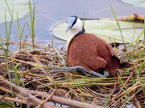 African Jacana on nest