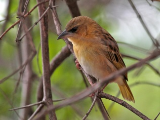 Female Brown-throated Weaver