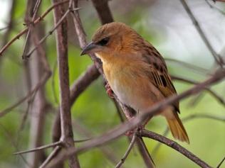 Female Brown-throated Weaver