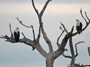 Fish Eagle Face-off