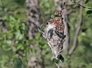 Grey Penduline Tit nest