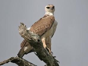 Sated Martial Eagle