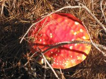 Fly Agaric - poisonous!