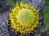 Leucospermum hypophyllumcarpodendrum