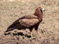 Juv African Harrier-Hawk
