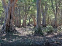 Fig forest