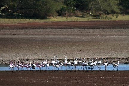 Lesser and Greater Flamingoes