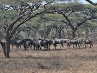 Mkuze Wildebeest