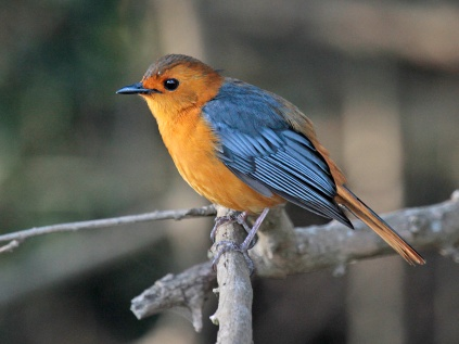 Red-capped Robin Chat