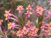 Struthiola myrsinites