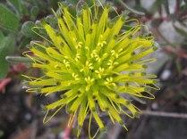 Leucospermum gracile