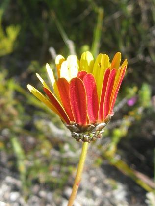 Ursinia paleacea
