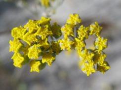 Gymnodiscus capillaris