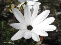 Dimorphotheca nudicaulis