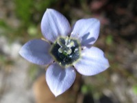 Wahlenbergia capensis