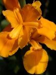 Irises at Keurbos