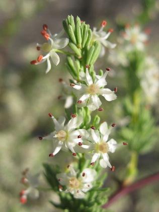 Asparagus aetheopicus