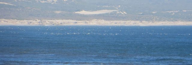 Cape Gannets in Walker Bay