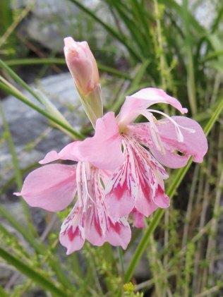 Gladiolus sp