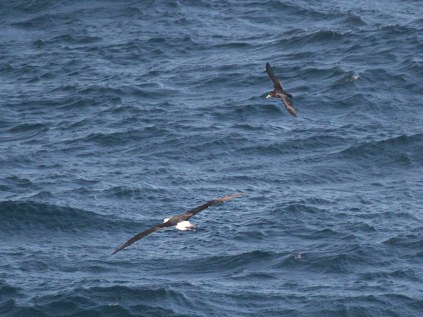 Shy Albatross and White-Chinned Petrel