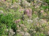 Hillslope of Erica hirtifolia