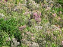 Erica hirtiflora hillslope