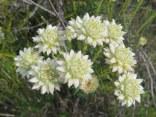 Phylica dodii