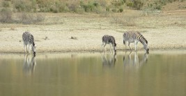 Zebra at the dam