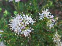 Agathosma capensis