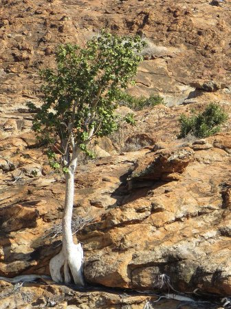 A Ficus clinging to the rocks