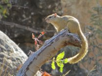 A tree squirrel