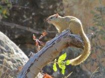 A tree squirrel