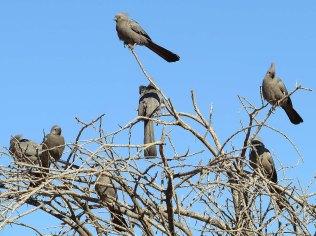 Grey Go-Away birds