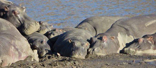 Hippos at Mabalingwe
