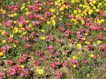 Romulea hirsuta amongst the daisies