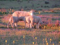 Sheep in the evening light