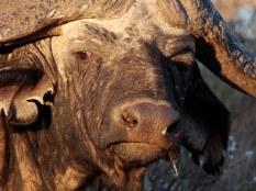 An unhappy looking Buffalo