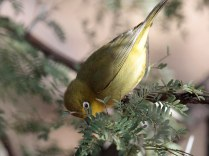 A Cape White-Eye