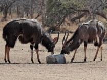 Nyala bulls at the salt lick