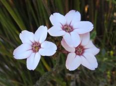 Adenandra brachyphylla