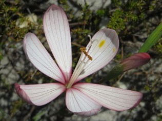 Geissorhiza schinzii