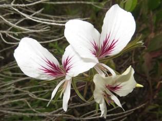 Pelargonium suburbanum