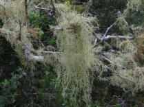 The lichen, 'Old Man's Beard'